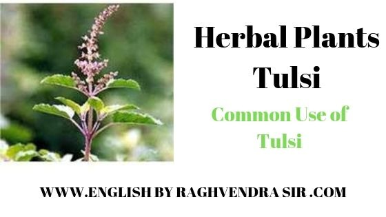 Herbal plant of Tulsi
